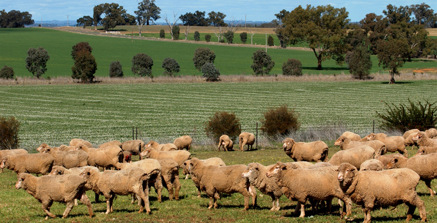 A group of sheep grazing in a paddock at Dunnoon, near Howlong in New South Wales. Lush grassy hills and trees can be seen in the background.