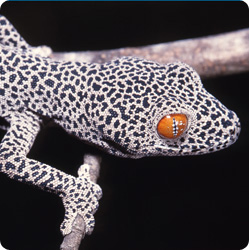 Golden-tailed geckos