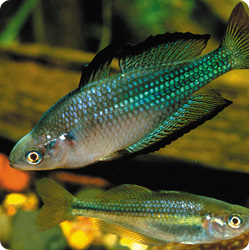 The Murray–Darling rainbowfish