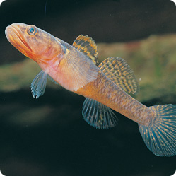 The dwarf flat–headed gudgeon