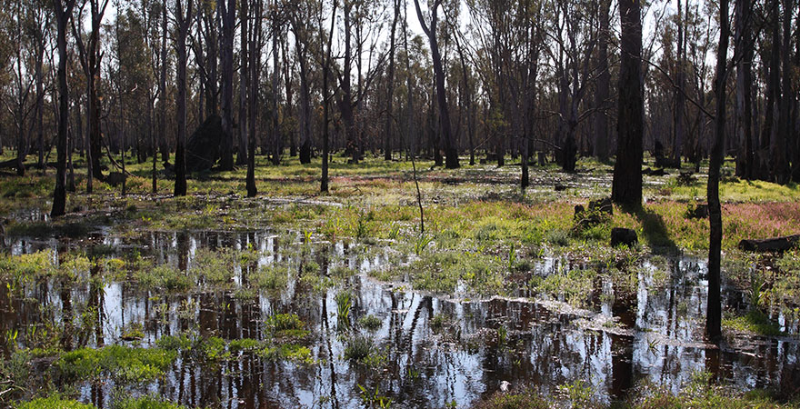 Gunbower Forest in flood.