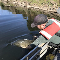 A Murray cod released into the Mitta Mitta River