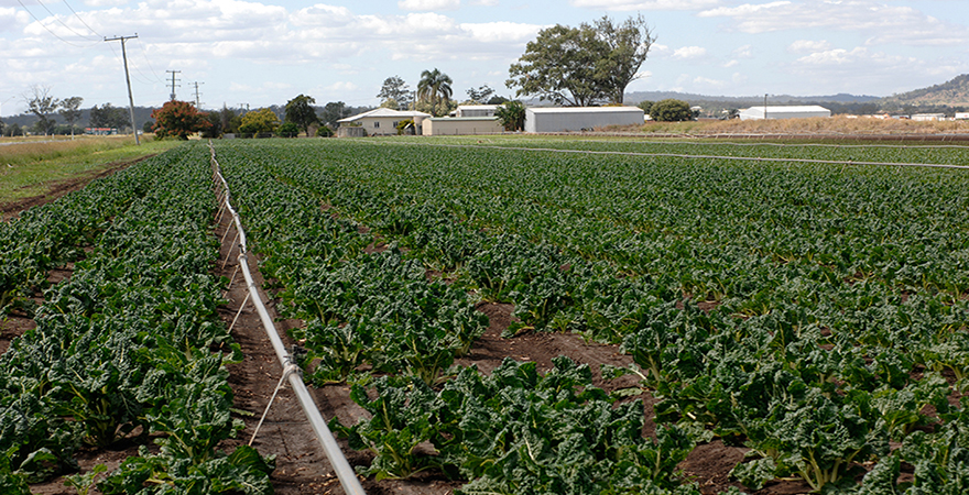 A silver beet crop uses groundwater for irrigation, near Toowoomba in Queensland.