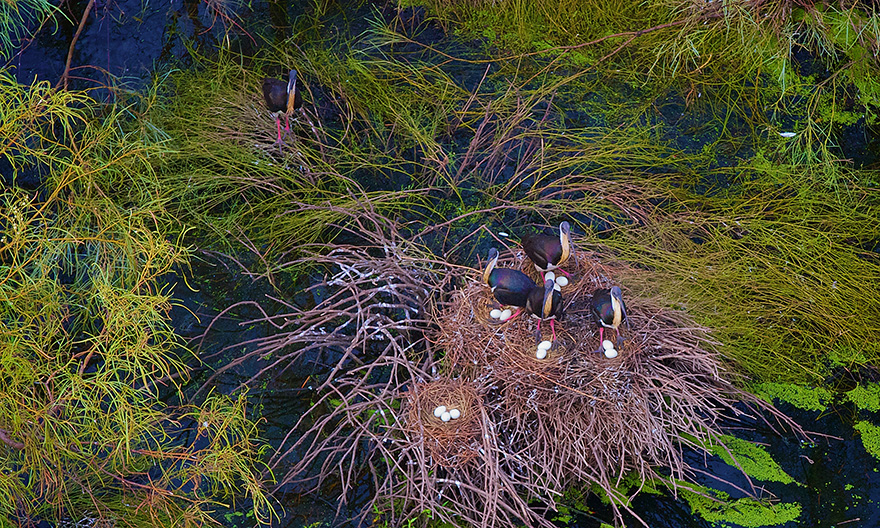 Nesting strawnecked ibis on lignum, Lower Gingham. Photo by Joshua Smith.
