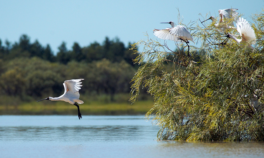 Royal spoonbills at the Ramsar-listed Narran Lakes, northern NSW. Photo by Tracy Fulford