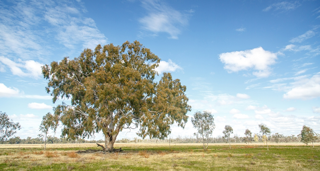 Lindsay Island floodplain with river red gum