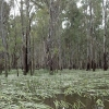 Water ribbons are flourishing in Barmah Forest (Photo: Keith Ward)