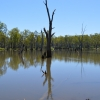 Inundated trees in a still river