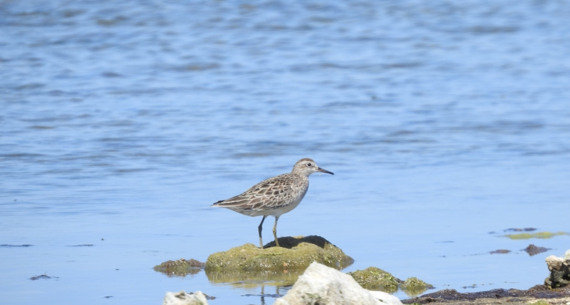 Sharp-tailed sandpiper in the southern Coorong. (Photo credit: S Dittmann)