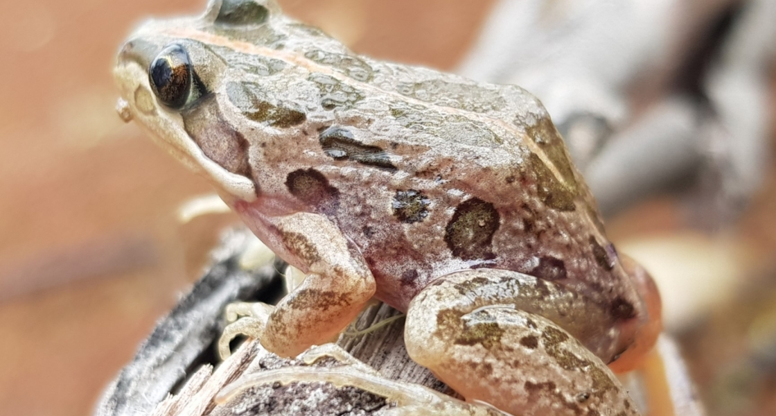 Spotted marsh frog at Reedy Lagoon, Gunbower Island. (Credit: P. Brown)