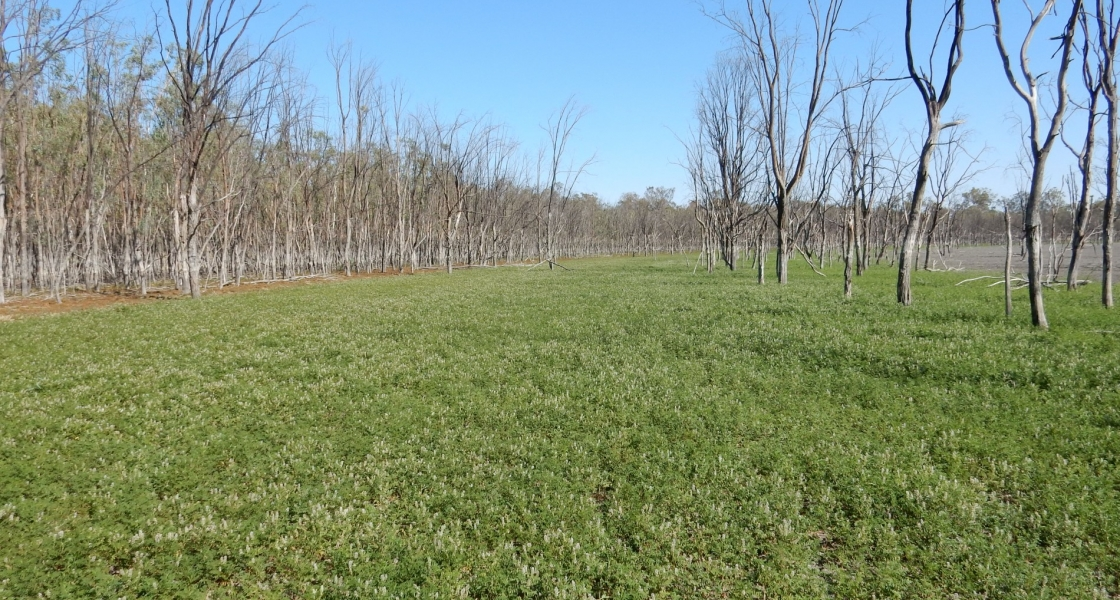 Thriving herbland on Lake Mournpall following planned drying of the lake. (Credit: Mallee CMA)