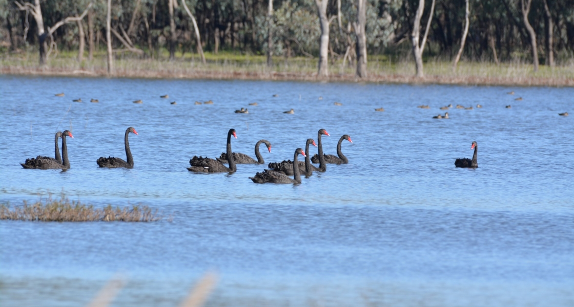 Black swans at Lake Kramen, where water was delivered to provide a drought-refuge for birds. (Credit: Mallee CMA)
