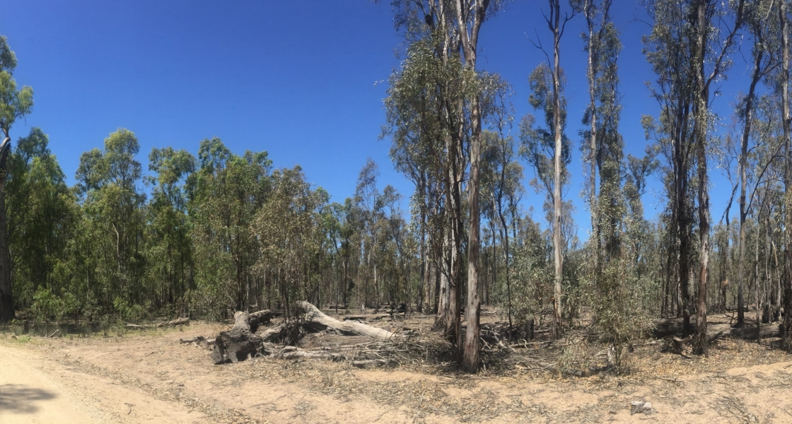 Contrast in tree canopies between watered (left) and non-watered (right) areas along Belbins Rd. (Credit: Jean Dind, FCNSW)