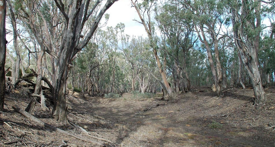 River Red gums in dry floodplain