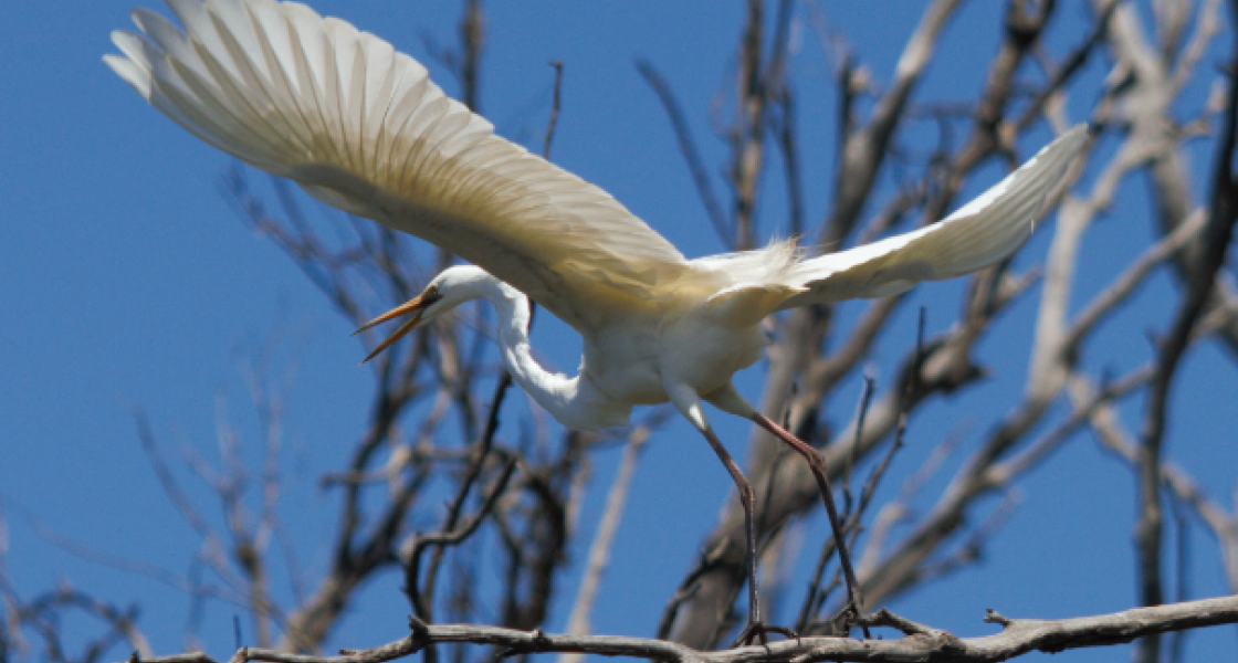 Great egret taking off – Millewa Forest. (Photo: Ted Ripon)