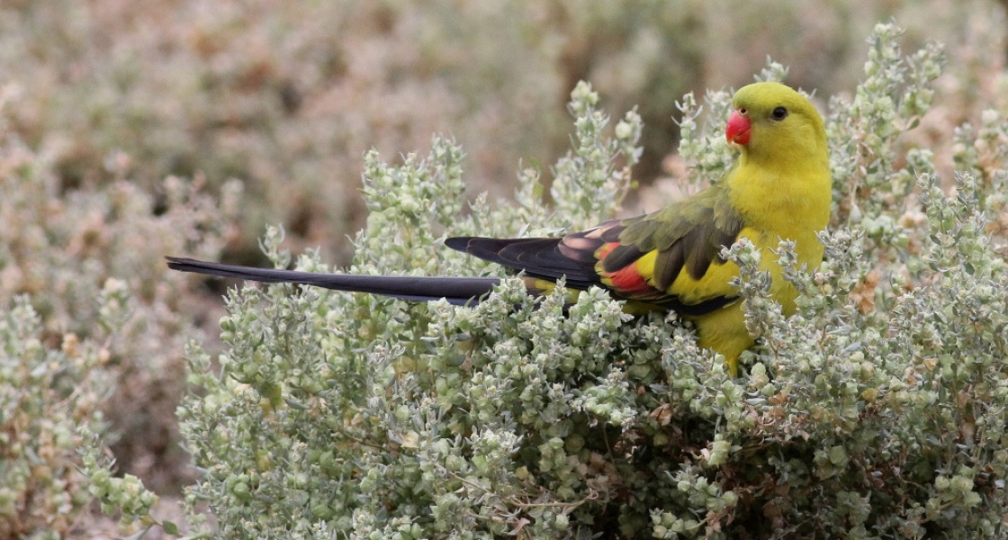 Critically endangered regent parrot (Photo: H Kieskamp)