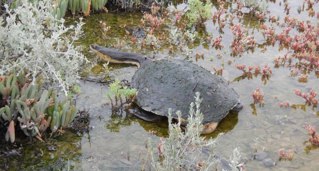 Broad-shelled turtle (Photo: C Nickolai, SA DEW)