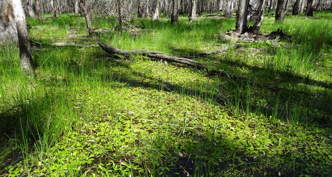 Lush groundcover of wetland plants below the river red gum canopy. (Photo: NCCMA)