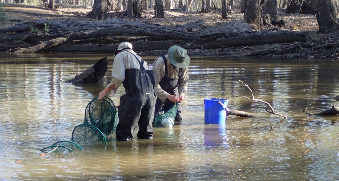 Authur Rylah Institute staff use fyke nets for native fish sampling in Bunyip Waterhole, Barmah Forest. (Photo: Keith Ward) Full permission, ask before use.