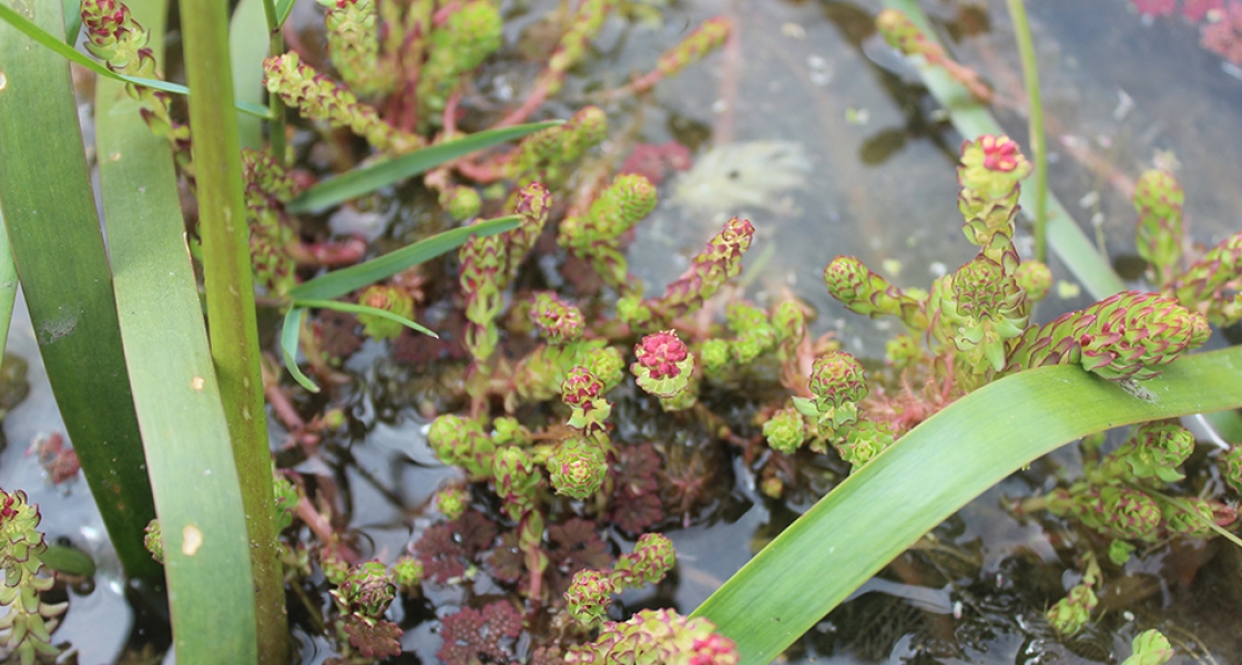 Aquatic plant Myriophyllum Salsugineum, Lake Milfoil Photo: Kirsty Wedge