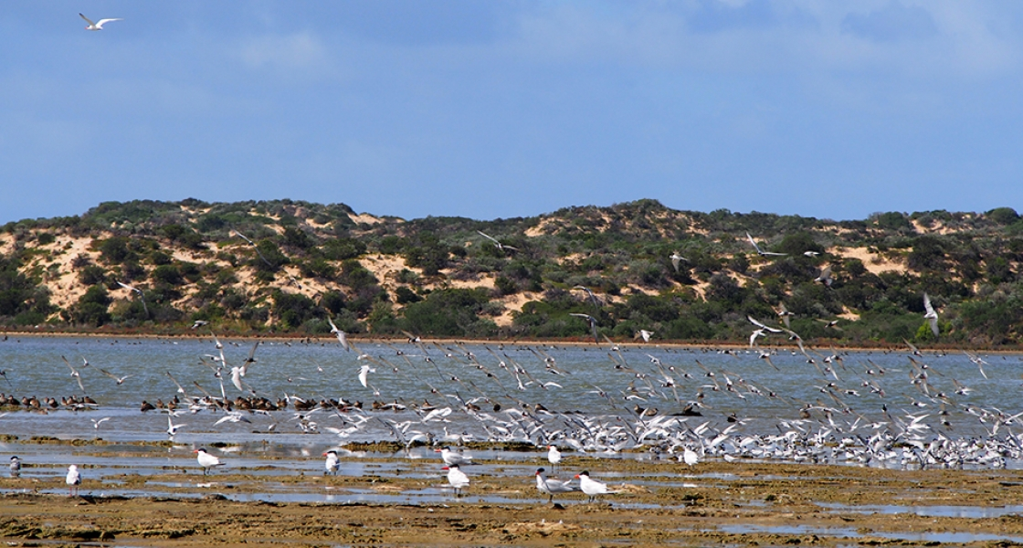 Terns a plenty - The Coorong Photo: Sabine Dittman